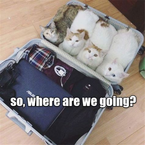 Travelling with your cat is easy 😄 #cattravels #catjoke #catmeme #hahacat #lolcat