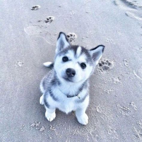 14 Photos Of Husky Puppies That Will Lift Your Mood Up Petpress