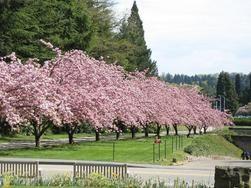 Kwanzan Cherry Tree Kwanzan Cherry Flowering Cherry Tree Flowering Trees