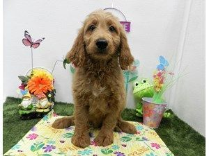 Dogs Puppies For Sale Petland Orlando South Fl