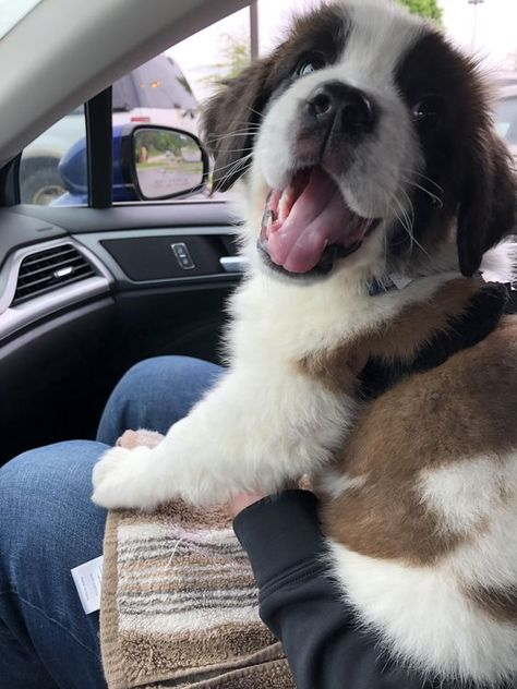 Newest member of the family Maisie the St Bernard weeks) Source by nmediano The post Newest member of the family Maisie the St Bernard weeks) & appeared first on Franklin Dogs. Cute Dogs And Puppies, Baby Puppies, Doggies, Teacup Puppies, Corgi Puppies, Mundo Animal, My Animal, St Bernard Puppy, Baby St Bernard