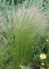 Stipa tenuissima - Zartes Federgras, Engelhaar