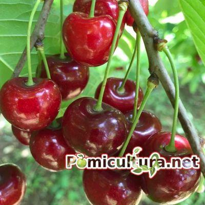 Cires Sunburst Pomi Fructiferi De Vanzare Din Pepiniera Aiud