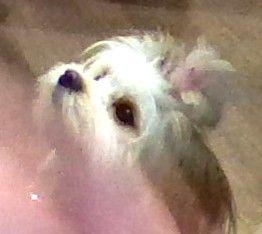 Cute Maltese Puppy Maltese Puppy Small Dogs Big Dogs