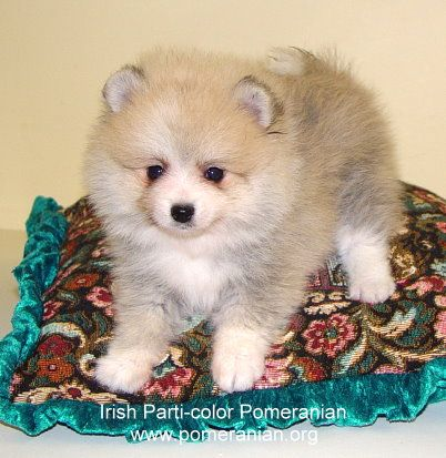 Pomeranian Colors With Images