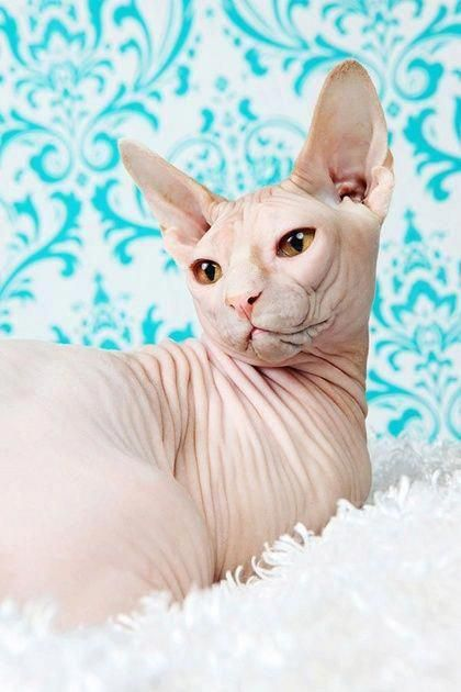 Cats Craigslist Id 2334707292 Catsclaw Cat Adoption Siberian Cats For Sale Herding Cats