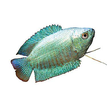 Dwarf Gourami Pet Fish Tropical Fish Aquarium Live Fish