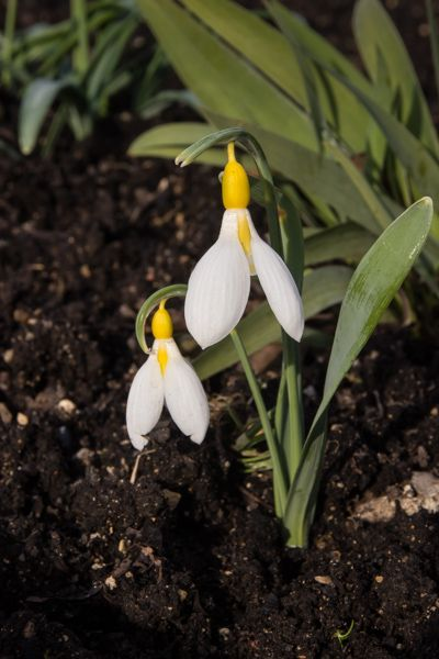 Snowdrop Heaven Flowerpower Schneeglockchen Fruhling