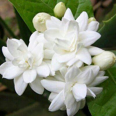 Shenbagapoo Planting Roses Jasmine Plant Trees To Plant
