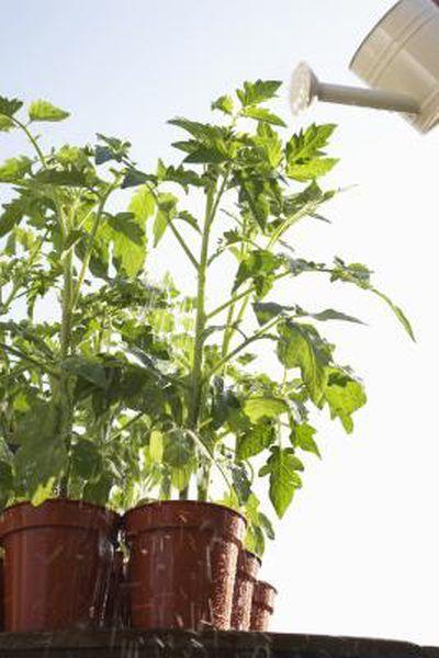 Signs Symptoms Of Overwatering Tomatoes Growing Vegetables
