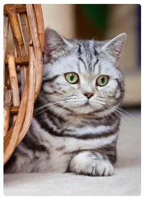 More Cute Cat Lover S Designs For T Shirts Hoodies Dresses Women S Tees Long Sleeve Shirts Leggin American Shorthair Cat Cat Breeds British Shorthair Cats