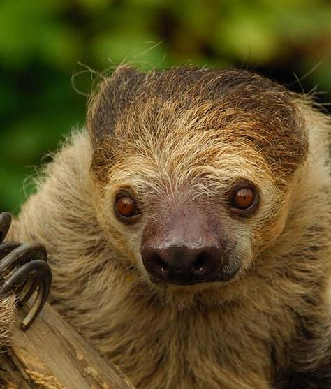 Pictured is Mo, a stunning two-toed sloth at the Cincinnati Zoo and Botanical Garden in Ohio. Once a week, sloths will climb down to the ground to go to the bathroom at the base of the tree. Sounds like the good life!
