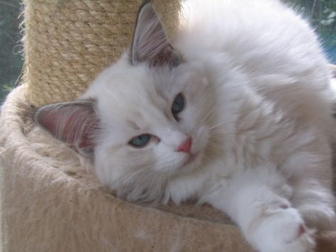 Ragdoll Cats Texas From Ragdoll Breeder Feet S Of Faith Cattery Near Houston Cattery Ragdoll Cat