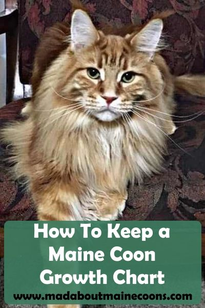 How To Keep a Maine Coon Growth Chart   all things cats