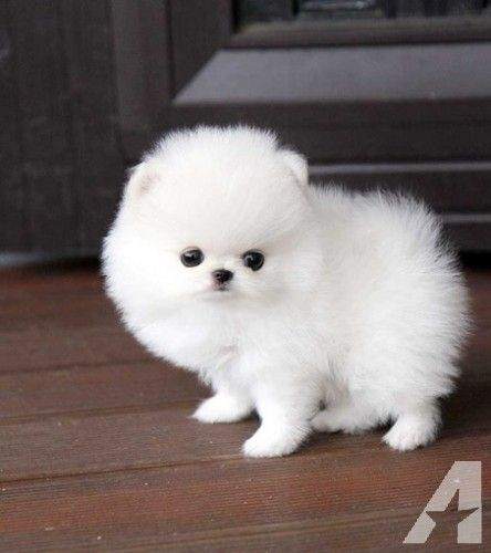 Pomeranian Puppies For