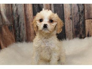 Puppies And Dogs For Sale Petland Round Lake Beach Illinois Puppies Dogs For Sale Dogs