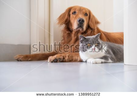 Stock Photo British Shorthair And Golden Retriever Golden Retriever Pet Dogs Relationship Poems