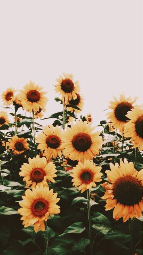 Cute Aesthetic Wallpaper Flowers 68 Trendy Ideas Sunflower Wallpaper Flower Wallpaper Flowers Photography