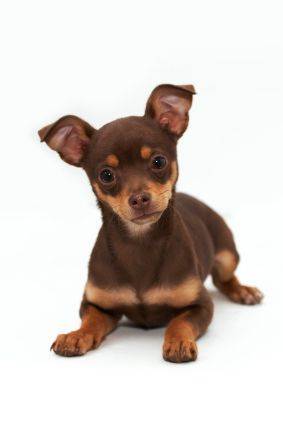 Different Types Of Chihuahuas Dog Breeds Chihuahua Dogs Pets