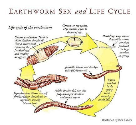 Picture Life Cycles Earthworms Cycle