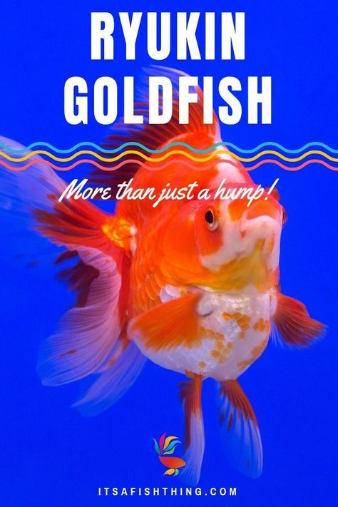 Ryukin Goldfish Their Care Needs History Facts And More