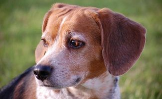 Success Beagles In Fungicide Study Released To Michigan Humane