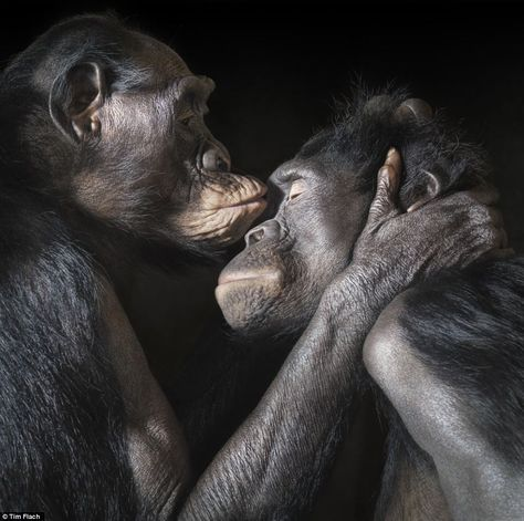 Tim Flach photography: Very personal: Two apes enjoy an intimate moment together