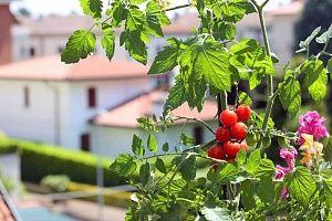 Coltivazione pomodori Coltivare pomodori, Orto e Piante