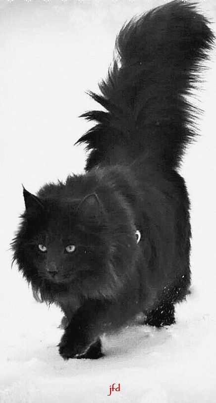Pin By Fran Bemis On Cats Lovers Forest Cat Norwegian Forest Cat White Cats