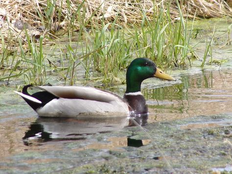 This duck was actually surprisingly cooperative with me today. Most of the other ducks flew off as soon as they caught a glimpse of me. This one let me get...