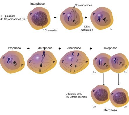 Mitosis. Wish I would have seen this for that silly HESI exam