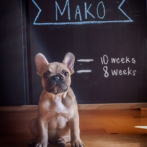 Mako S Growth Chart French Bulldog Dog Love Puppies Puppy Love