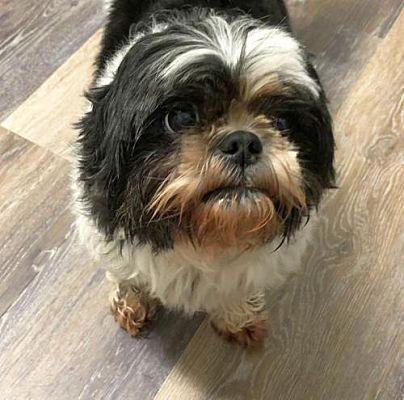 Rockaway Nj Shih Tzu Meet Sophie Scas A Dog For Adoption