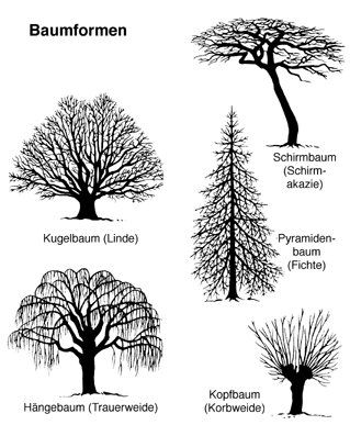 Wissenschaft Online Lexikon Der Biologie Baum 3 Baum Baum Bestimmen Trauerweide