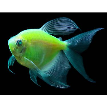 Glo Fish Electric Green Long Fin Tetra Fish Goldfish Betta More Petsmart Goldfish For Sale Glofish Pet Fish