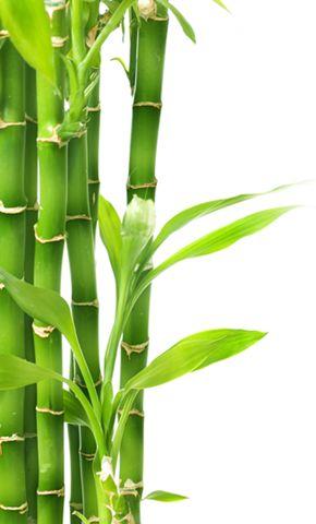 Google Image Result For Http Www Sesshudesign Com Wp Content Uploads Bamboo Png Cañas De Bambu Bambú Dibujo Imagenes De Plantas