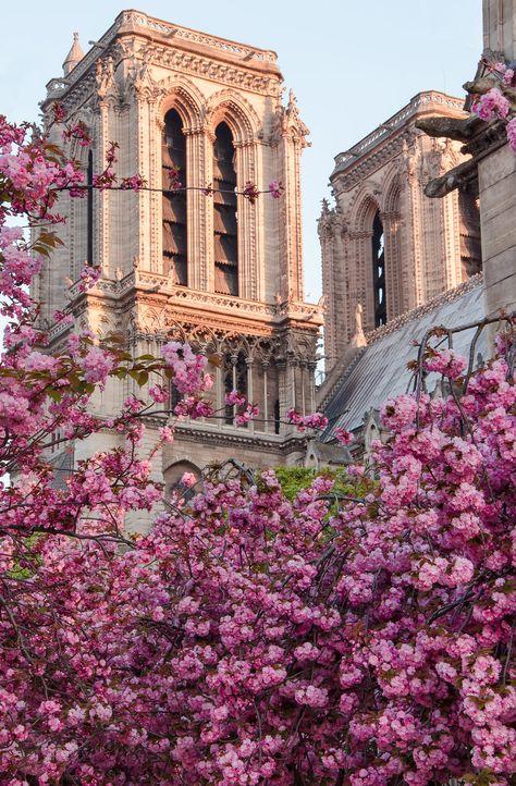 Notre Dame de Paris _ I want to remember the magnificent  Cathedral covered by gorgeous cherry flowers . Au revoir Notre Dame. A bientot.