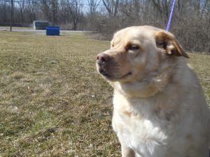 Adopt Harley On Labrador Retriever Labrador Retriever Dog