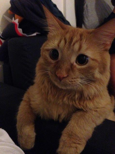 Reddit Meet Nugget Cute Animals Cats Kittens Orange Tabby Cats