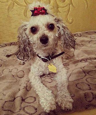 Columbus Oh Poodle Miniature Meet Zoey Z Arthur A Pet For