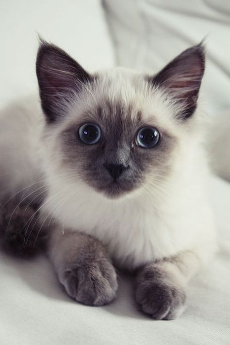 Siamesecat Adorable Cute Cats Pretty Cats Cute Animals