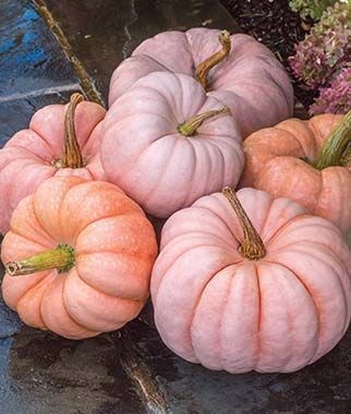 Pumpkin, Porcelain Princess Hybrid, , large 'Porcelain Princess's pretty petite pink beauties are the talk of the pumpkin patch. Weighing in at lbs. Types Of Pumpkins, Pink Pumpkins, Fall Pumpkins, Halloween Pumpkins, Fall Halloween, Burlap Pumpkins, Pretty Halloween, Velvet Pumpkins, Halloween Crafts