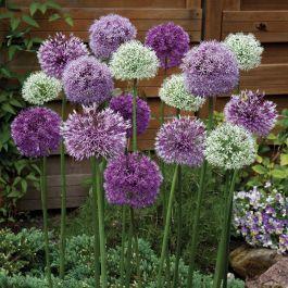 Giant Allium Mix Bulb Flowers Flower Bulbs For Sale Garden Bulbs