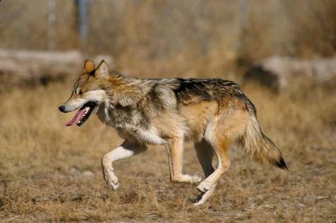 24 Animales En Peligro De Extinción De México Animales En Peligro De Extincion Lobo Mexicano Lobo Gris Mexicano