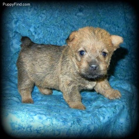 Norwich Terrier Baby Norwich Terrier Norfolk Terrier Norwich