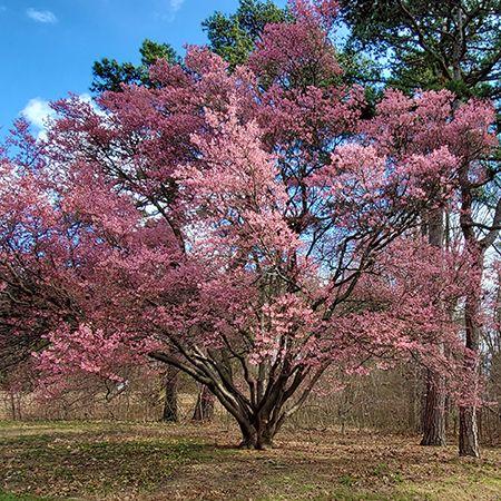 Official Japanese Okame Cherry Blossom Tree Cherry Blossom Tree Blossom Trees Cherry Plant