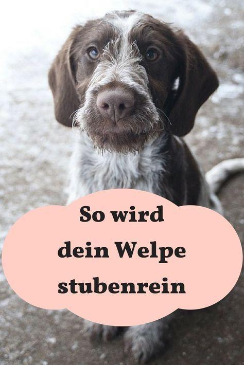 Welpen Stubenrein Bekommen Meinhund24 Welpe Stubenrein Welpen Stubenrein