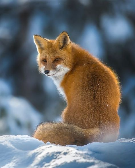 Beautiful Wildlife Red Fox By C Chris St Michael Algonquin