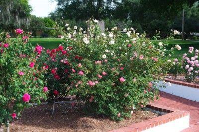 Preparing Soil In Fall For Rose Planting Garden Planning Rose