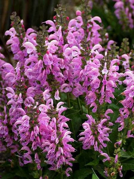 Salvia Pretty In Pink Meadow Sage How To Attract Hummingbirds